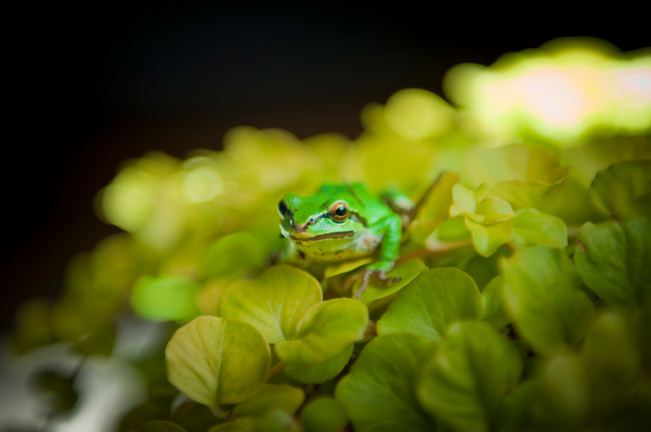 Mr. Ching Wah (Pacific Tree Frog) 2