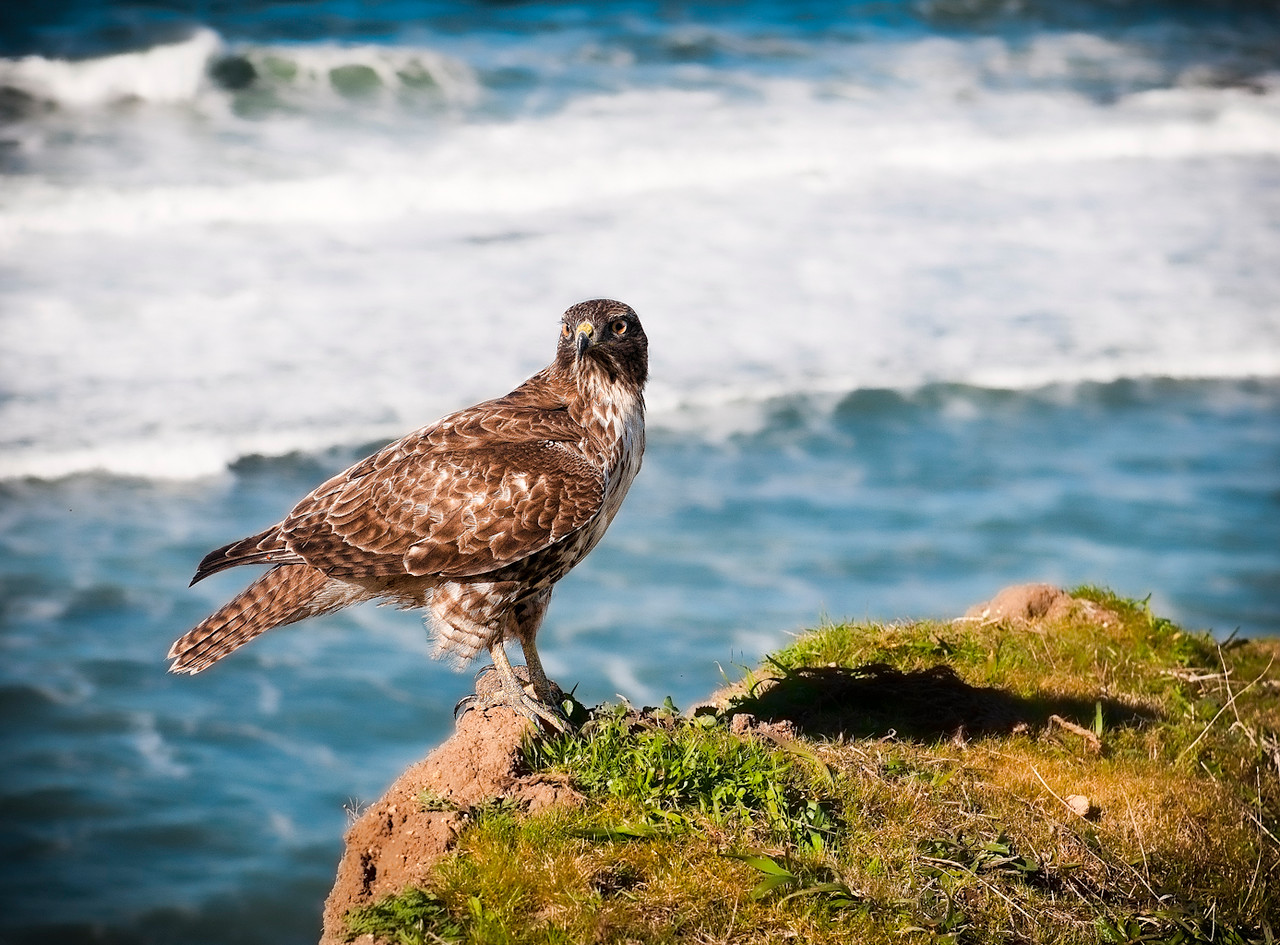 Wild Red Tailed Hawk