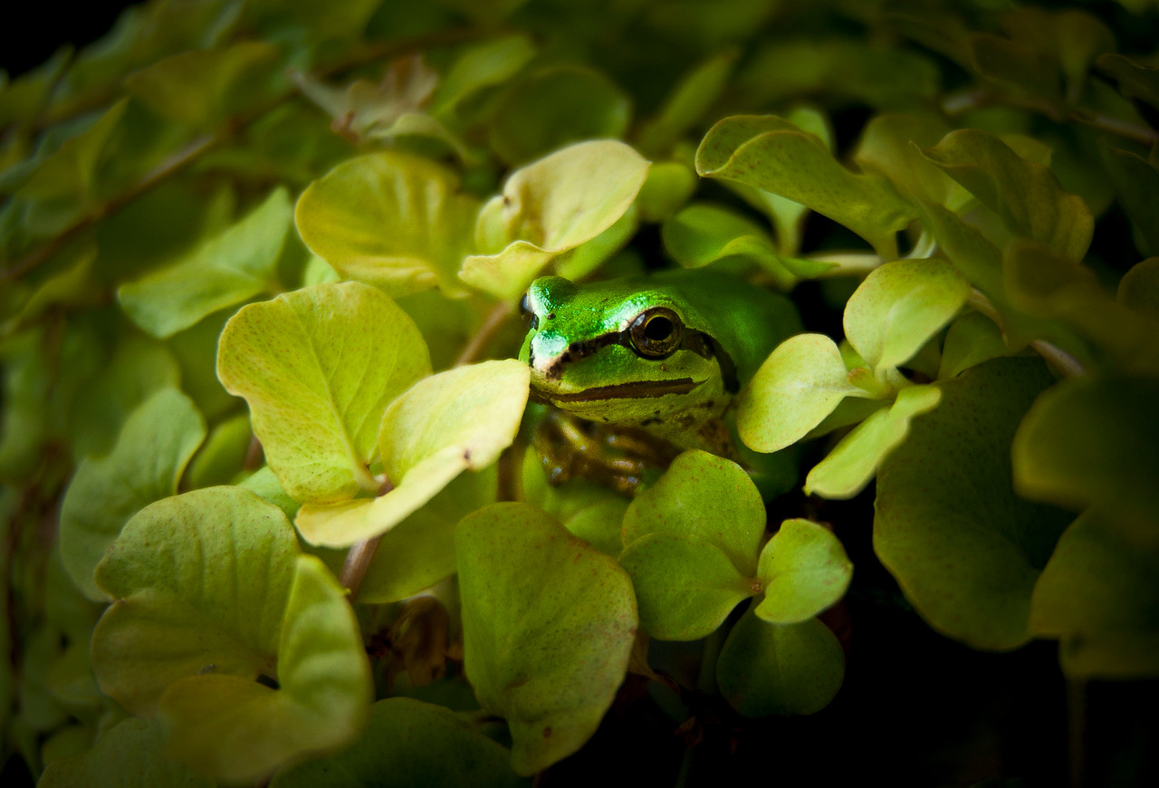 Mr. Ching Wah (Pacific Tree Frog)