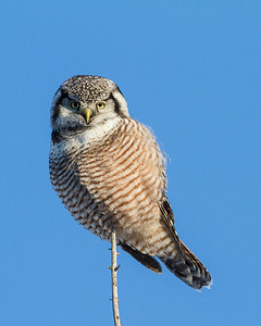 Northern Hawk Owl Slave Lake, Alberta