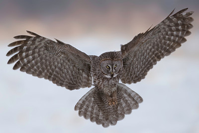 Great Gray Owl Near Edmonton, Alberta