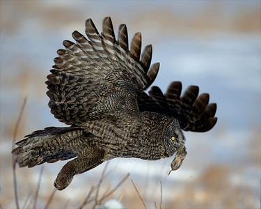 Great Gray Owl with dinner Near Edmonton, Alberta