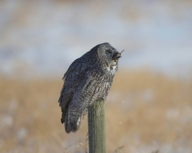 """Gulp!"" Great Gray Owl Near Edmonton, Albertav"