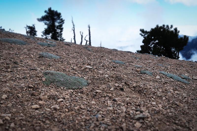 Southern Alpine Buckwheat