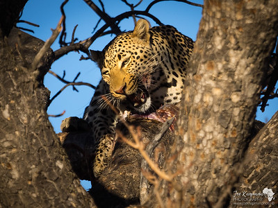 Mouth Watering Leopard