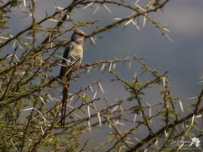The Red-faced Mousebird