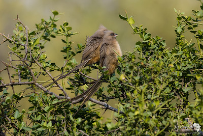 Speckled Mousebirds