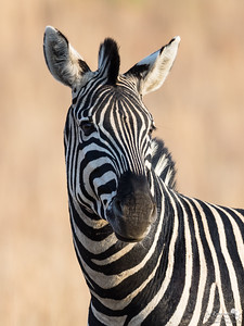 Cool zebra portrait