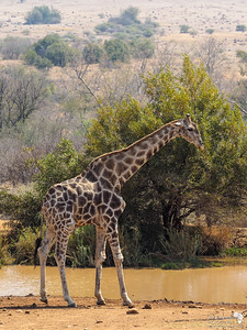 A Bull Southern Giraffe at the Waterhole
