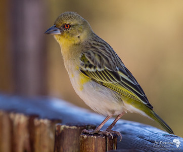 Female Southern Masked Weaver