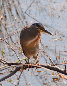 Green Backed Heron