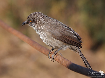 Arrow Marked Babbler