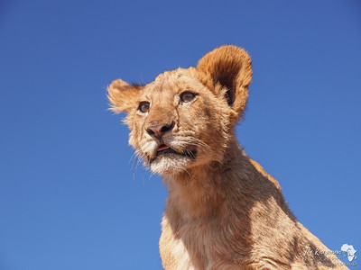 Lion cub magic