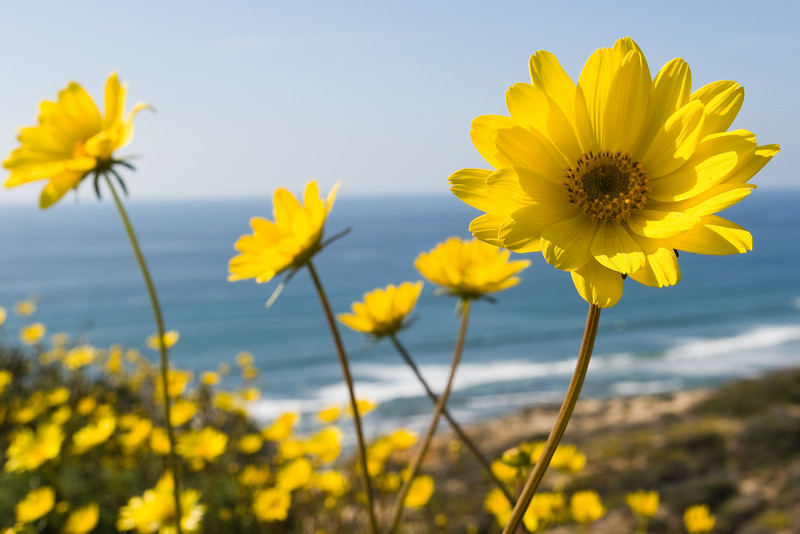 Sea Dahlias at Torrey Pines State Reserve