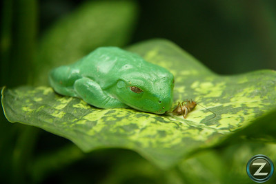 Tree Frog - San Antonio, Texas