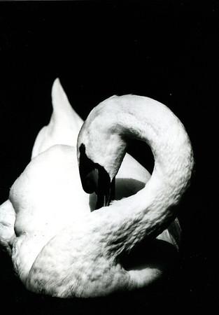 Swan  copyrights © Franek Siedlok