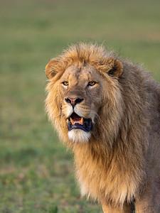 Golden Maned Lion