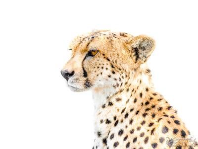 High key Cheetah portrait