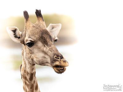 Female Giraffe portrait