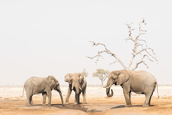 Big boys of Savuti