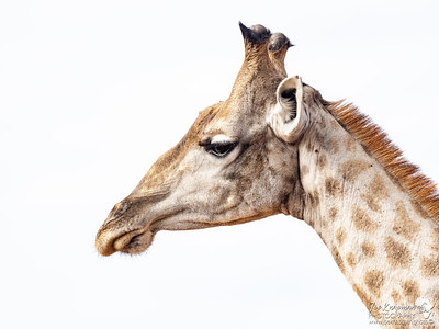 Male Giraffe Portrait