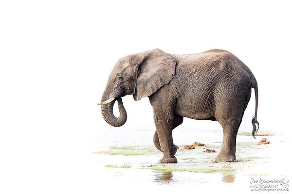 Bull Elephant preparing to cross the Chobe River