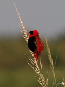 Northern Red Bishop in Murchison Falls, Uganda