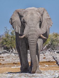 Bull Elephant stands tall