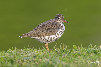 American spotted sandpiper on the edge
