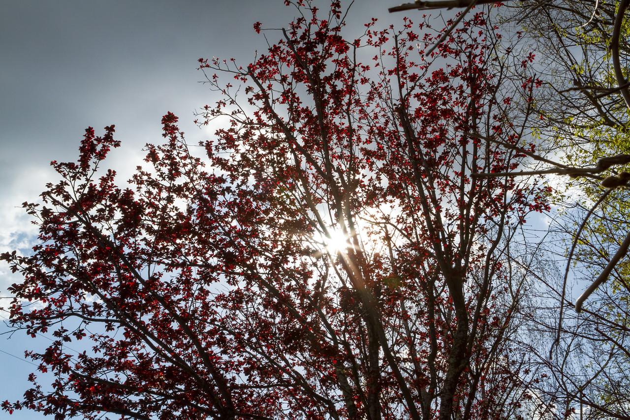 Back lit plum tree