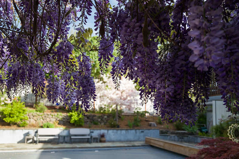 Morning Wisteria and Cherry