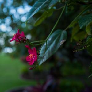 Alii garden
