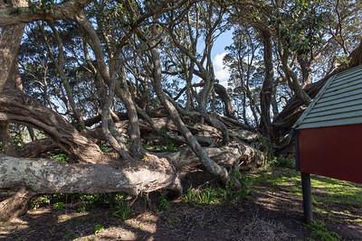 Te Araroa, Old Pohutukawa Tree, East Cape, New Zealand