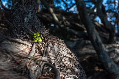 Te Araroa, Old Pohutukawa Tree, new life, East Cape, New Zealand