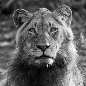 Gestatten? Leo, Panthera leo