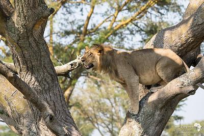 Tree Climbing Lion climbing