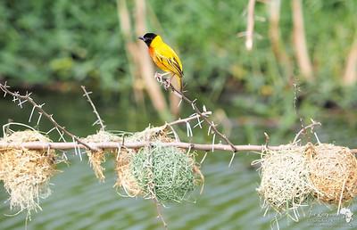 Black Headed Weaverbird