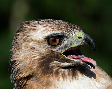 Red-tail Hawk Portrait