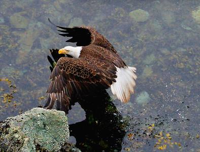 Bald Eagle, Campbell River, British Columbia