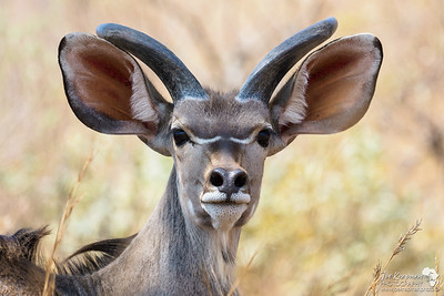 Young Male Kudu