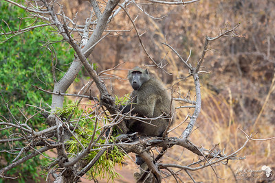 A baboon lookout