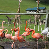 The flamingo pond sits next to the giraffe pens, and you see another view of the hillside safari hotel-tents.