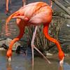 Two-headed flamingo?