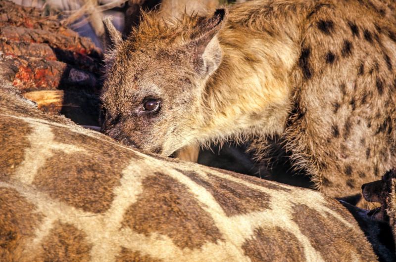 A Hyena dines on a dead giraffe. Chobe National Park, Botswana