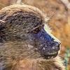 Baboon - Willem Pretorius Game Reserve