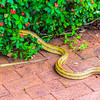 Yellow Rat Snake, Selby Gardens