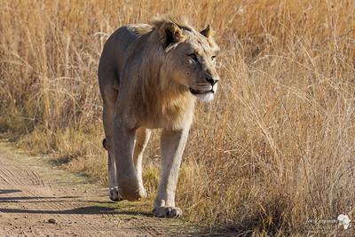 Lion walking along the road