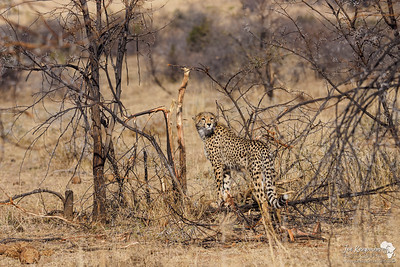 A chance encounter with a cheetah in Pilanesburg