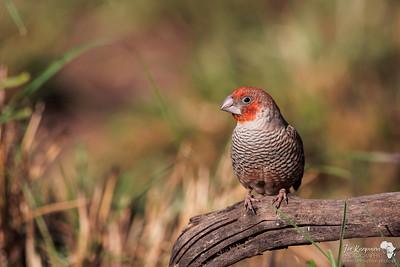 Red Headed Finch