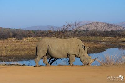 Rhino in the morning